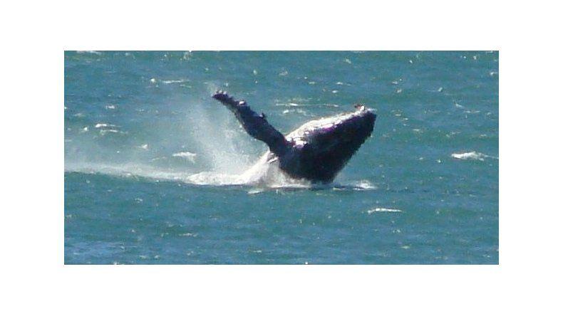 Llegaron las primeras ballenas a Madryn