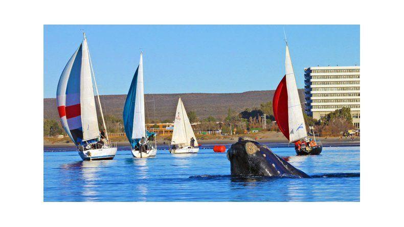 Ya hay 1.117 ballenas en Península Valdés