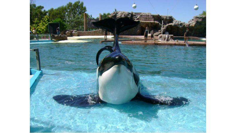 Península Valdés  busca liberar a una orca de Mundo Marino
