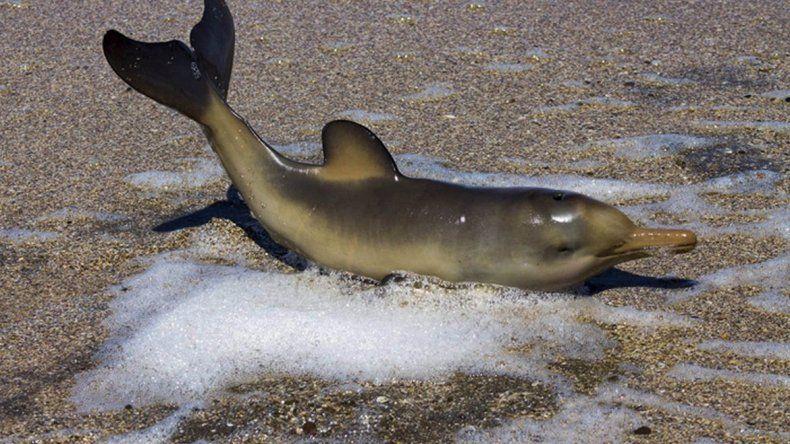 Rescatan a un delfín recién nacido