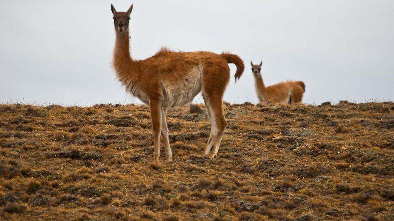 Trabajarán en la conservación del guanaco