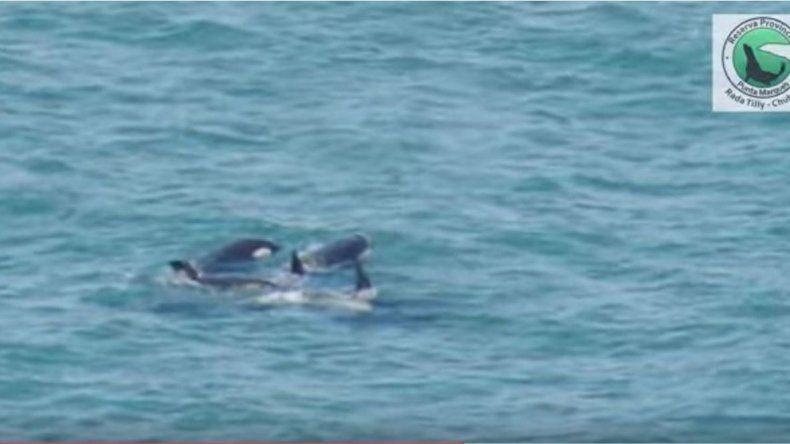 ¡Cuatro orcas visitaron Punta Marqués!
