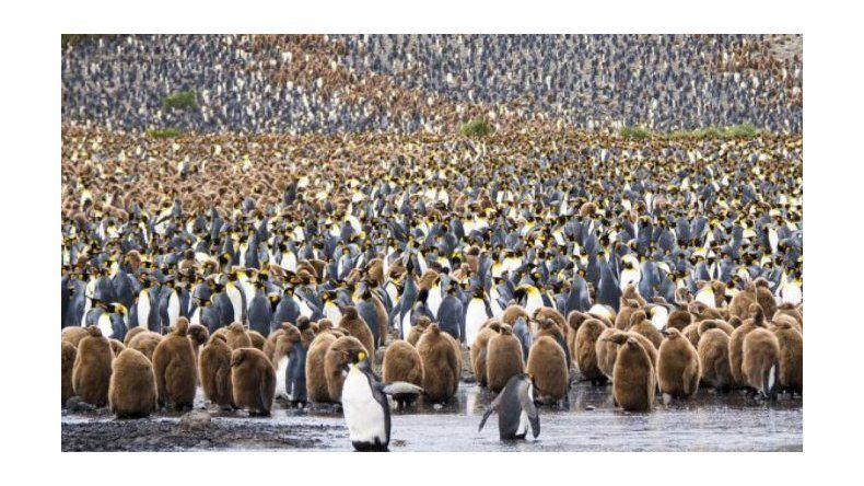 Murieron 150 mil pingüinos por el desplazamiento de un iceberg