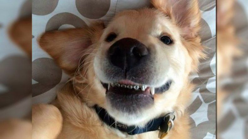 Un perro usa ortodoncia porque no puede cerrar la boca