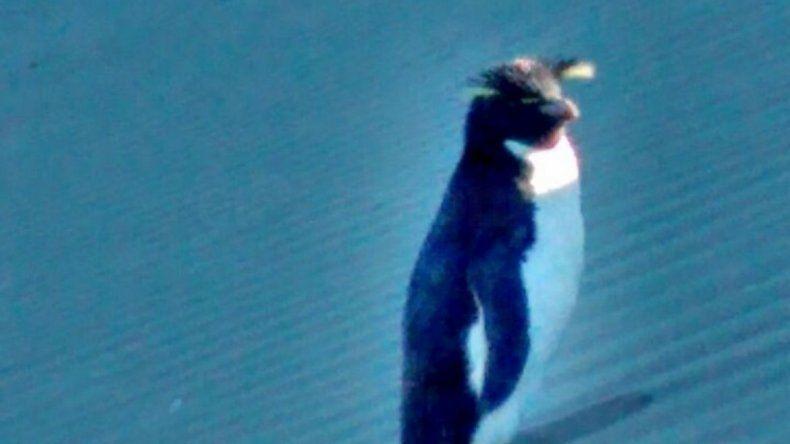 Un pingüino de penacho amarillo visita las costas radatillenses