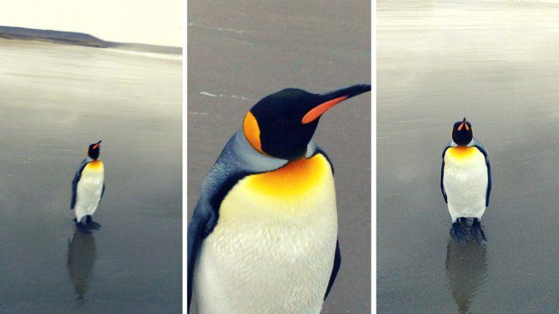 Un pingüino emperador en las costas del Golfo San Jorge