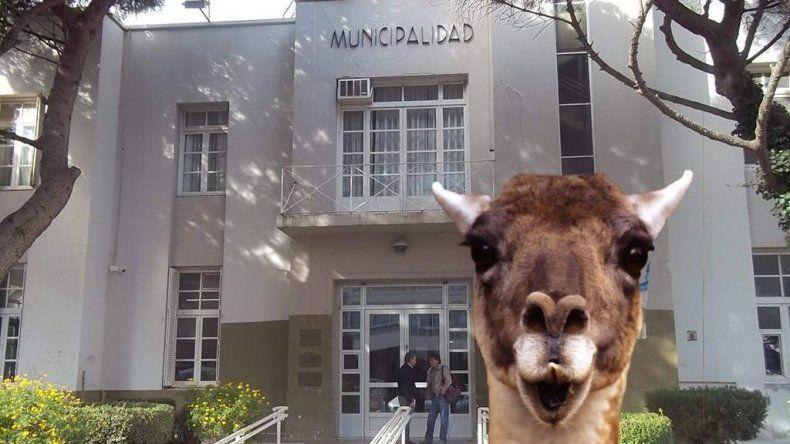 Las aventuras de un guanaco en la ciudad se transformaron en memes