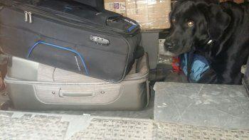 Alexis, el perro que en dos meses sacó más de 30 kilos de droga.