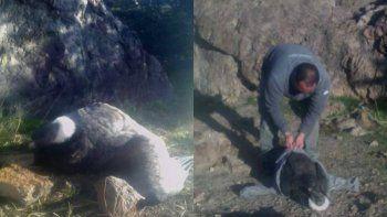 Guardafauna rescató un cóndor andino en el Área Natural Piedra Parada