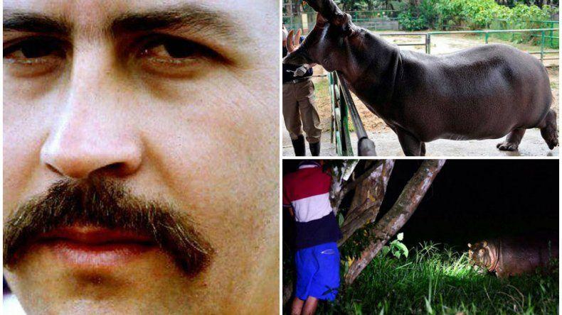 Los hipopótamos de Pablo Escobar preocupan a los colombianos