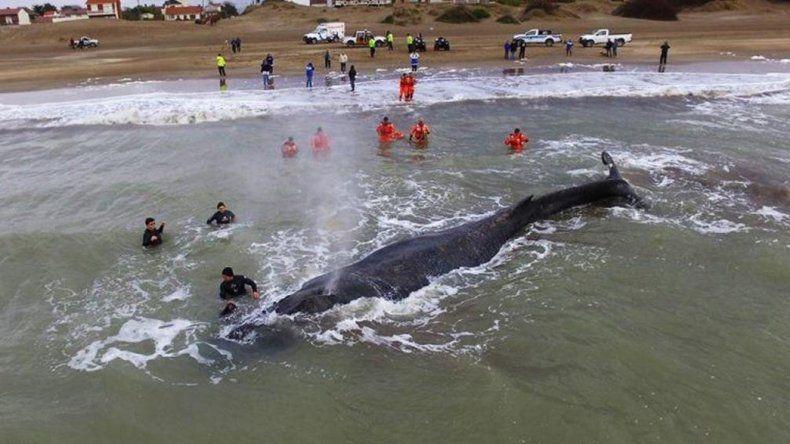 Rescataron a una ballena que estuvo 48 horas encallada.