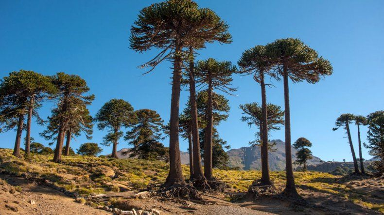 La mágica Ruta del Pehuén: un paseo para hacer todo el año