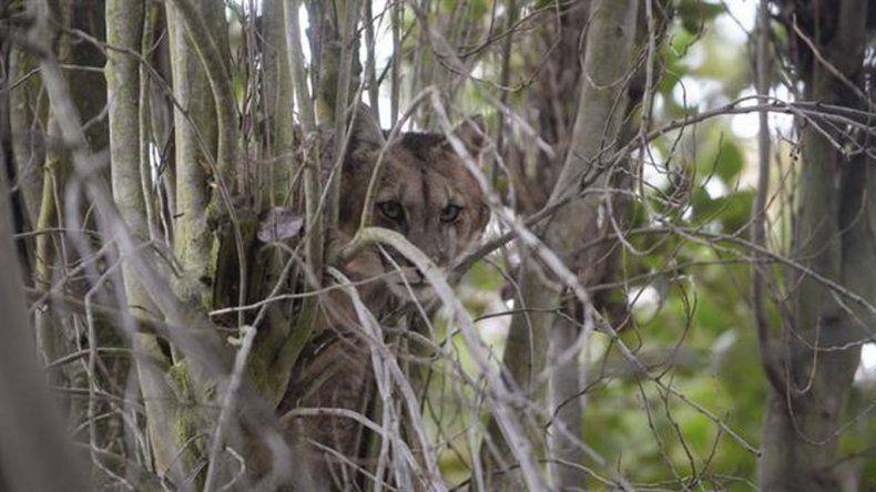El puma estuvo horas arriba de un árbol.