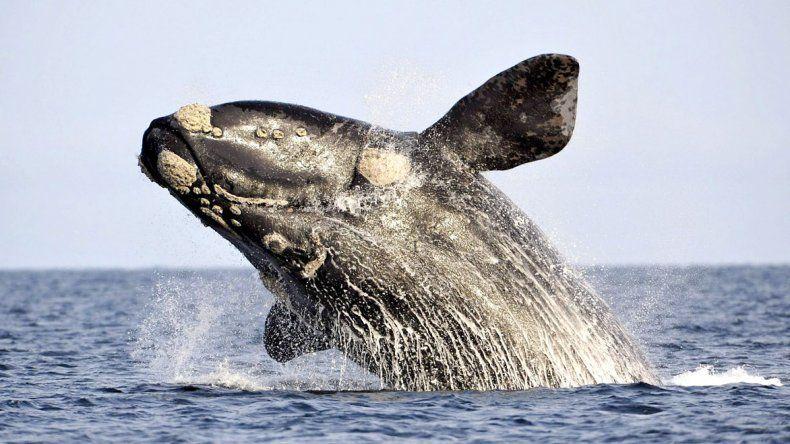 Hasta diciembre, Península Valdés y Puerto Madryn  tienen los mejores avistajes