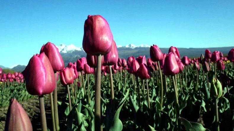 Octubre trae la más hermosa postal de tulipanes en Patagonia