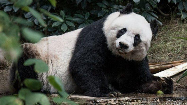 Murió el oso panda en cautiverio más viejo del mundo