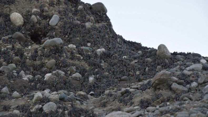 Invasión de tucuras en Cushamen: hay focos de 300 metros de ancho y mil de largo