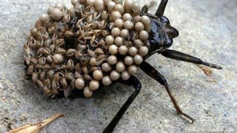 Atención: ¿es real el alerta por presencia de insecto peligroso?