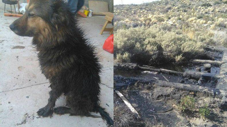Una perra se cayó a un piletón de petróleo sin señalizar