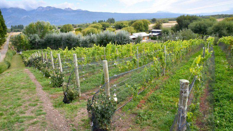 En Chubut hay cerca de 30 productores y cerca de 100 hectáreas implantadas con once variedades de uva.
