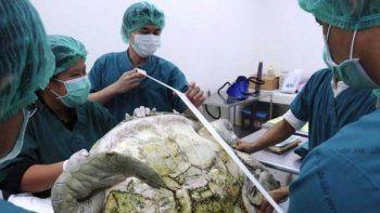 Murió la tortuga a la que le sacaron 915 monedas del estómago