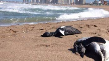Encuentran más de cien pingüinos de Magallanes muertos en la costa argentina