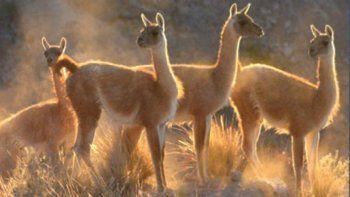 en mayo comienza la caza comercial de guanacos