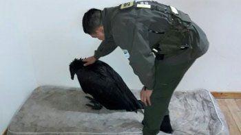 Un cóndor deshidratado y con bajo peso fue rescatado en El Bolsón