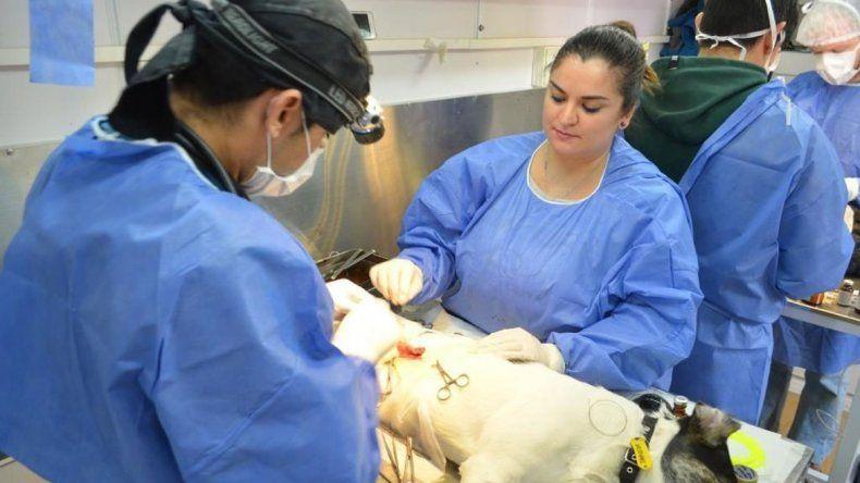 Las esterilizaciones ayer se realizaron en dos tráileres con la participación de la Dirección de Veterinaria.