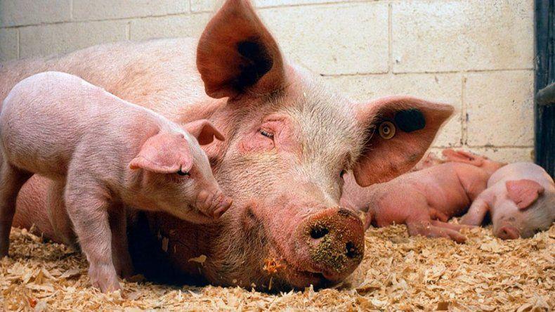 La importación de cerdo de EEUU pone en peligro 35 mil empleos