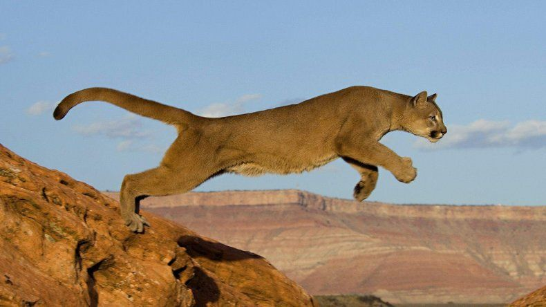 Ayer se celebró por primera vez el Día Mundial del Puma