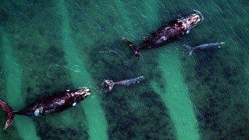 record de ballenas francas en peninsula valdes