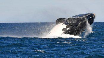 la temporada de ballenas de chubut esta en su mejor momento