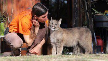 campana por un puma que sufre de ceguera y lucha por sobrevivir