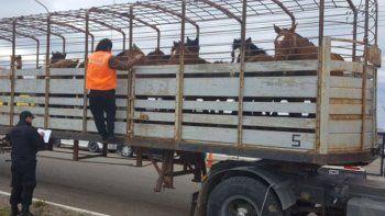El camión con jaula y los caballos que eran transportados sin guía, fueron incautados por personal policial de la subcomisaría Koluel Kaike.