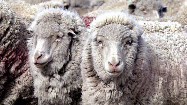 Por faenar cinco ovejas lo condenaron a dos  años y ocho meses de prisión condicional