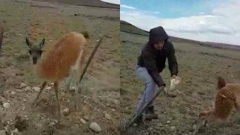 el divertido video del rescate a un guanaco