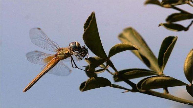 Barrios de zona sur invadidos de libélulas