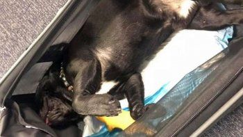 un perro murio en pleno vuelo por tener que viajar en el equipaje