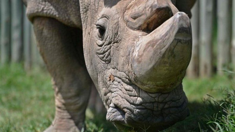 Murió el último rinoceronte blanco macho del mundo