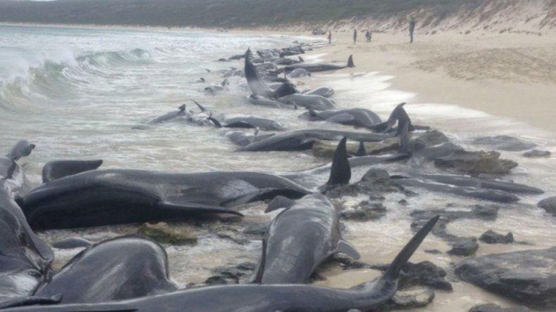 Aparecieron 150 ballenas varadas en la costa de Australia