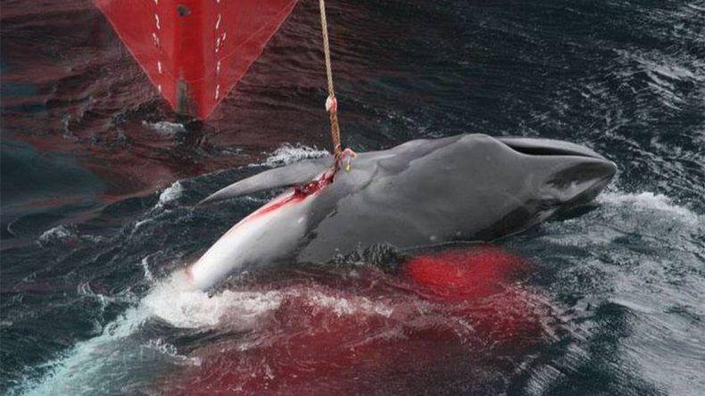 Barcos japoneses mataron 333 ballenas en la Antártida