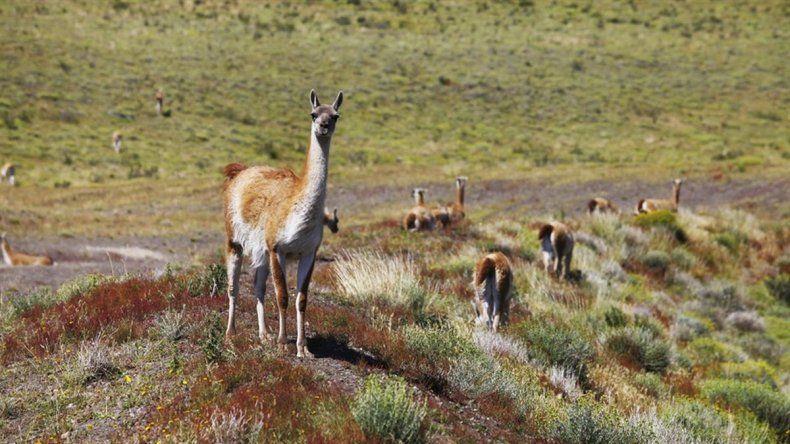Comienza la caza comercial de guanacos