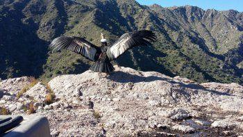 Tras ser rescatado en grave estado fue liberado un cóndor andino