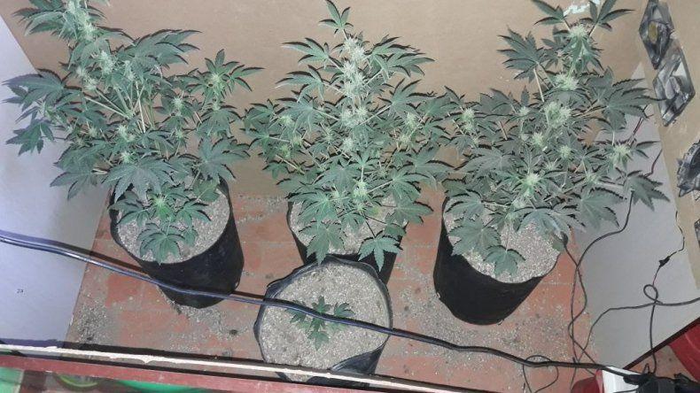 En el departamento de Riquelme se incautaron cuatro plantas de marihuana.