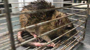 Encontraron en Santa Cruz el roedor urbano más grande