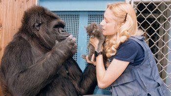 murio koko, la gorila que dominaba el lenguaje de signos