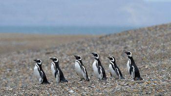 Niegan el envío de ejemplares de pingüinos de Chubut a Japón