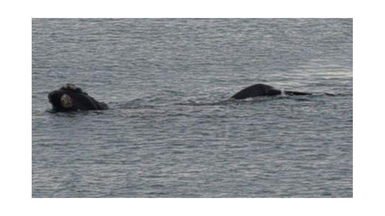 Avistaje de ballenas francas