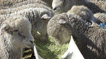En las disertaciones se difundirá el uso de nuevas tecnologías de alimentación de ovinos a corral.